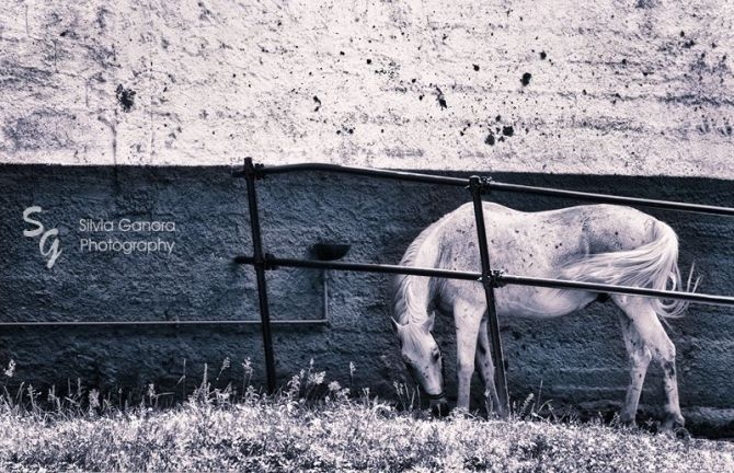 White Horse - ©Silvia Gaora Photography - All Rights Reserved