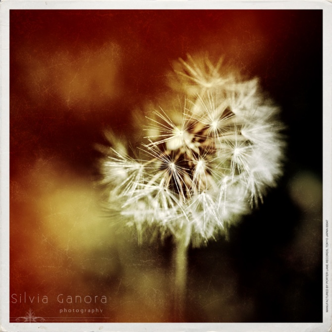 Dandelion  - ©Silvia Ganora -All Rights Reserved