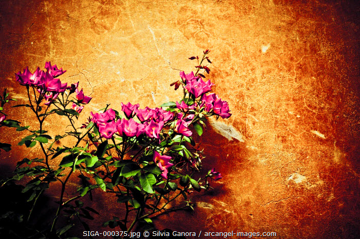 pink flowers against decayed wall - ©Silvia Ganora Photography - All Rights Reserved