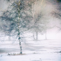 Birches in misty and wintry landscape