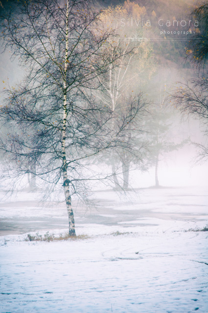 Birches in misty and wintry landscape.- ©Silvia Ganora Photography - All Rights Reserved