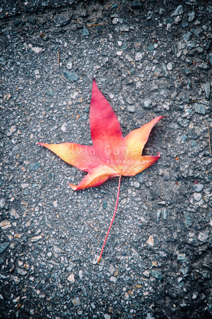 Fallen autumnal maple leaf on asphalt- ©Silvia Ganora Photography - All Rights Reserved