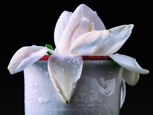 Close up shot of a gardenia in a coffee cup sprinkled with water and with a green fresh bud leaf among white petals, Dark background- ©Silvia Ganora Photography - All Rights Reserved