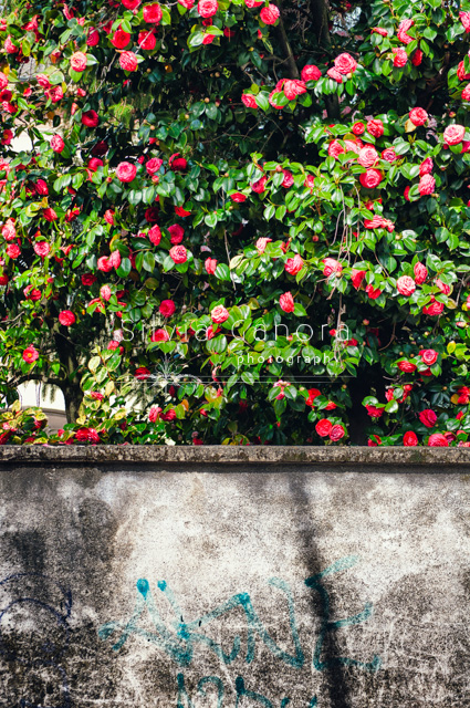 Blooming camelia beyond wall- ©Silvia Ganora Photography - All Rights Reserved