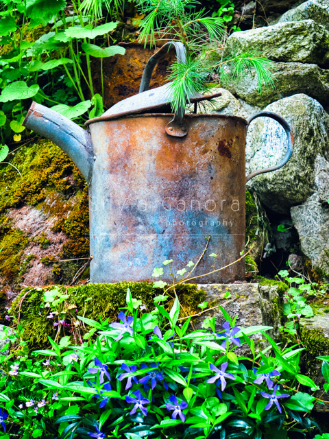 Old aluminum watering can on a rock with moss and lovely blue flowers- ©Silvia Ganora Photography - All Rights Reserved