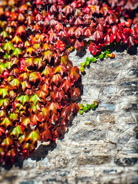 Red ivy leaves on wall with green and red leaves- ©Silvia Ganora Photography - All Rights Reserved