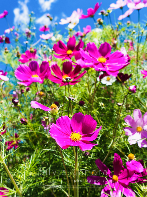 Close up shot of sunlit magenta flowers with blue sky in the background- ©Silvia Ganora Photography - All Rights Reserved