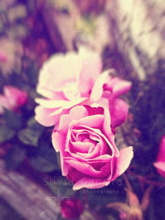 Beautiful pink roses closeup- ©Silvia Ganora Photography - All Rights Reserved