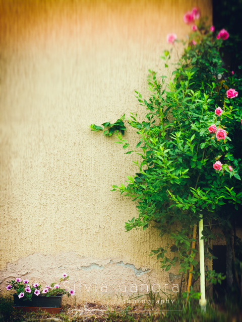 Rose plant against wall with vase of petunias on the ground- ©Silvia Ganora Photography - All Rights Reserved