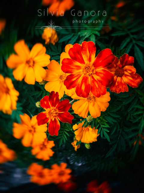 Closeup shot of brightly colored flowers with chiaroscuro effect and vignette blur- ©Silvia Ganora Photography - All Rights Reserved