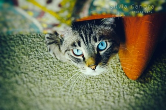 Beautiful blue eyed kitty looking up in camera from under an armchair.- ©Silvia Ganora Photography - All Rights Reserved