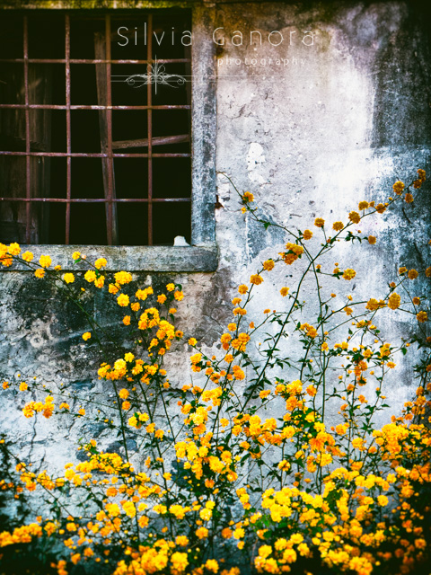 Beautiful yellow flowers against decayed wall with window with grate- ©Silvia Ganora Photography - All Rights Reserved