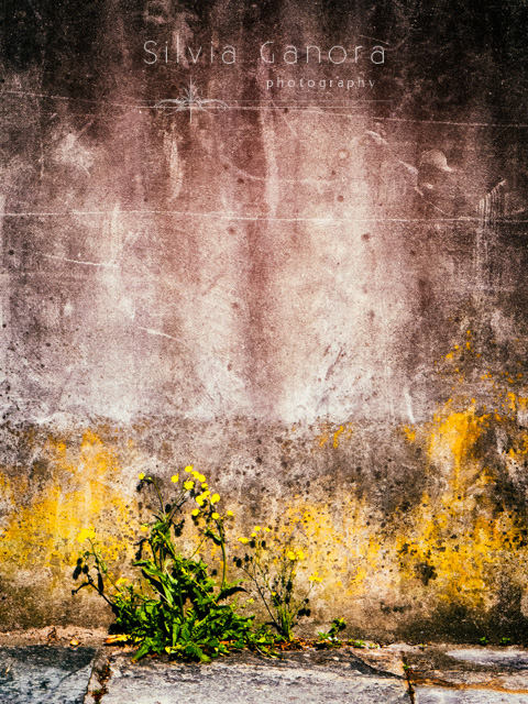 Grungy wall with yellow flowers on the sidewalk - Copyright Silvia Ganora Photography