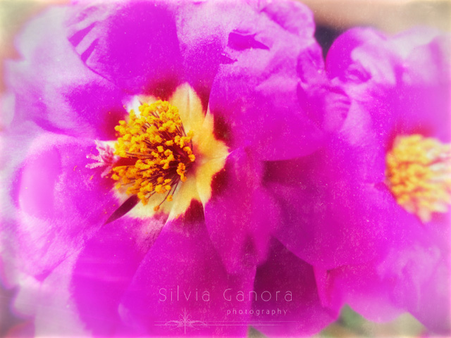 Closeup shot of beautiful pink flowers - ©Silvia Ganora Photography - All Rights Reserved