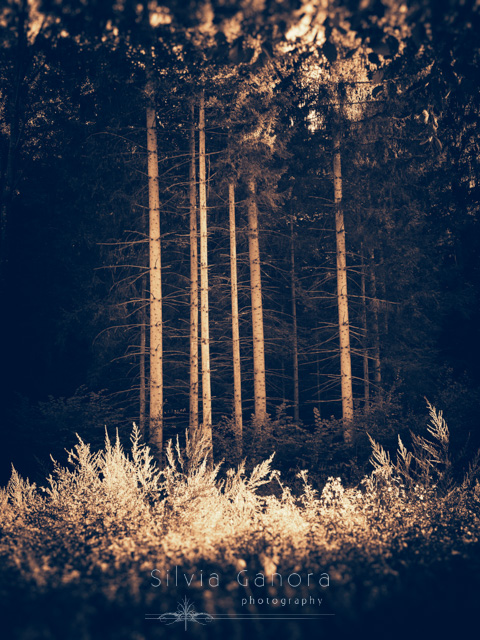 Moody split toned shot of a grup of tall birches with sunlit grass in the foreground - ©Silvia Ganora Photography - All Rights Reserved