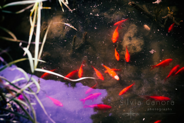 Goldfish and koi fish in a pond - ©Silvia Ganora Photography - All Rights Reserved
