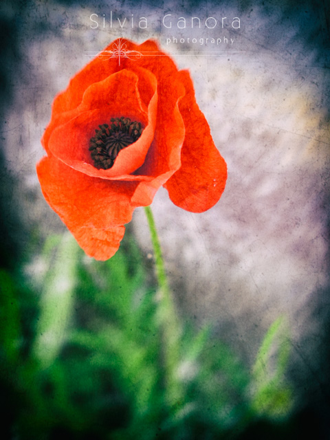 Close up shot of a red poppy - ©Silvia Ganora Photography - All Rights Reserved
