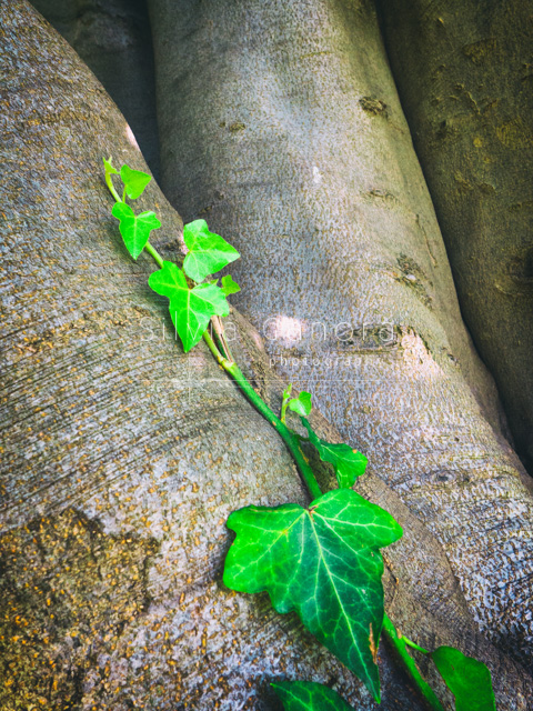Closeup shot of ivy leaves on a tree trunk - ©Silvia Ganora Photography - All Rights Reserved