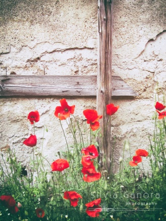 Poppies with decayed wall behind them - ©Silvia Ganora Photography - All Rights Reserved