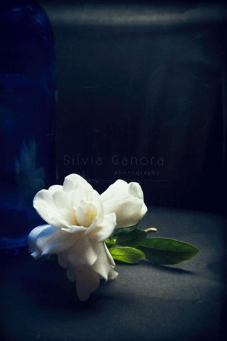 Closeup shot of a white camelia and blue vase against dark background - ©Silvia Ganora Photography - All Rights Reserved