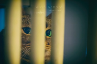 Tabby cat hinding behind a chair. Only eyes visible. - ©Silvia Ganora Photography - All Rights Reserved