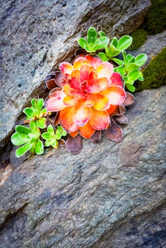 Closeup shot of a succulent plant flower grown in a crack between rocks - ©Silvia Ganora Photography - All Rights Reserved