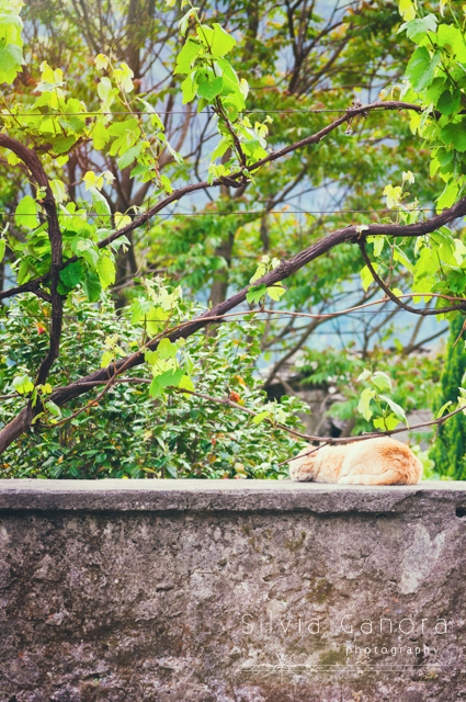 Tabby cat peacefully sleeping on top of a wall with tree and green leaves above©Silvia Ganora Photography - All rights reserved