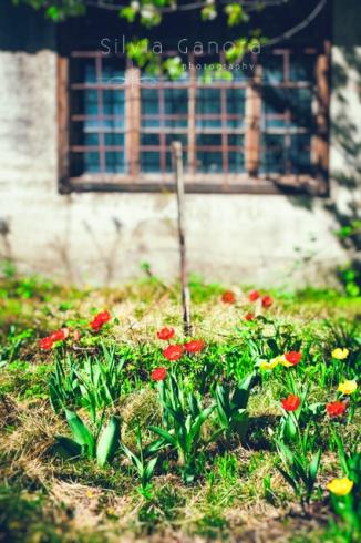 Tulips and window -